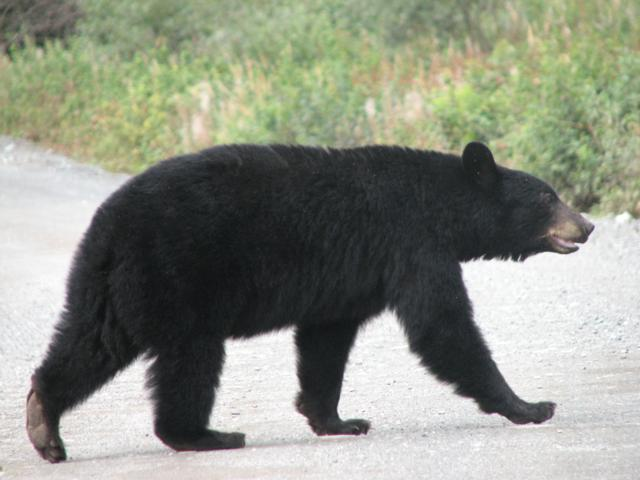 Os negre, Alaska