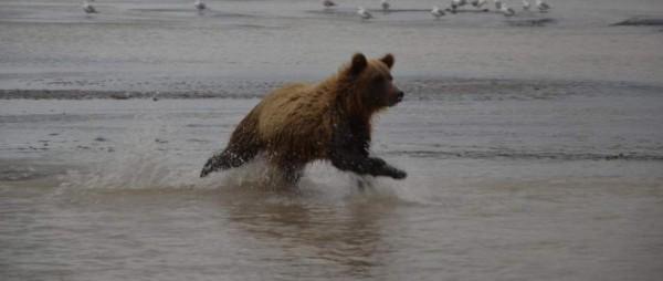 Os grizzli o bru, Katmai, Alaska