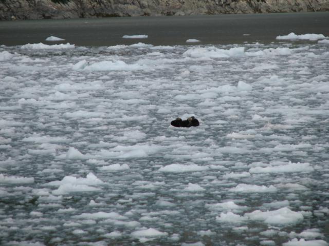 Llúdriga marina en el gel d'Alaska